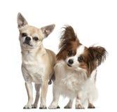 För 2 och 4-gammala år för Chihuahuas, standing Royaltyfria Bilder
