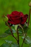 för 3 mum rose s sommar för röd uppehåll royaltyfria foton
