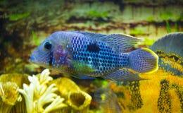 För Acara för elkraft blå fisk Cichlid Nannacara neonblått royaltyfri fotografi