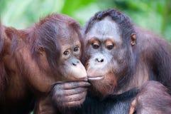 För aktieförtrogen för två vuxet orangutang ögonblick och kyss Arkivbild