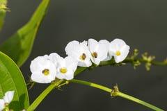 För ameson för pil head blomma med biet Arkivbilder