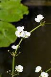 För ameson för pil head blomma med biet Royaltyfri Bild