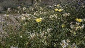 För Anza-Borrego för lösa blommor delstatspark Kalifornien öken arkivbilder
