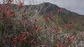För Anza-Borrego för lösa blommor delstatspark Kalifornien öken fotografering för bildbyråer