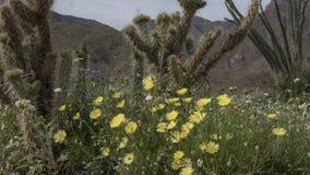 För Anza-Borrego för lösa blommor delstatspark Kalifornien öken royaltyfria foton