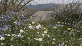 För Anza-Borrego för lösa blommor delstatspark Kalifornien öken arkivfoton