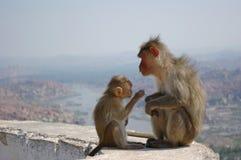 För aparhesusapa för röd framsida mulatta för Macaca för macaque Fotografering för Bildbyråer