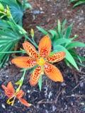 För apelsin blomma lilly arkivfoton