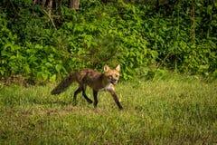 För argbiggavulpesen för den röda räven vulpesen traver ut ur trän Arkivfoton