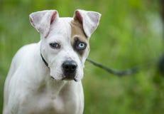 För avelvalp för amerikansk bulldogg blandad hund med ett blått öga Arkivfoton