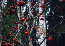 för bärrönnar för skog röd natur för höst för filial utomhus Royaltyfri Foto