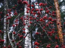 för bärrönnar för skog röd natur för stam utomhus Arkivbild