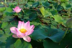 för bakgrund vatten lilly Arkivfoto