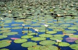 för bakgrund vatten lilly Arkivbilder