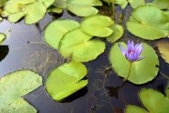 för bakgrund vatten lilly Royaltyfri Fotografi