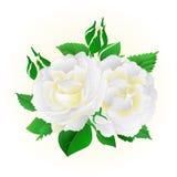 För bakgrundstappning för två vita rosor festlig vektor Royaltyfri Bild