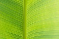För bananblad för Closeup grön textur, abstrakt bananbladbakgrund modell Arkivbilder