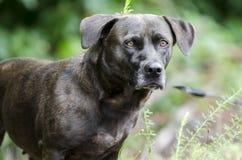 För Basset Hound för svart Bassador labb hund blandad avel Royaltyfri Bild