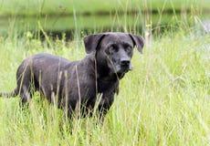 För Basset Hound för svart Bassador labb hund blandad avel Arkivbilder