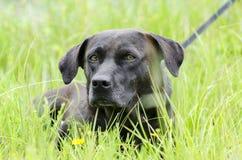 För Basset Hound för svart Bassador labb hund blandad avel Royaltyfri Foto