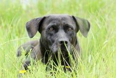 För Basset Hound för svart Bassador labb hund blandad avel Arkivbild