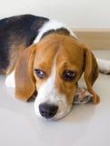 För beaglevalp för stående gullig hund Royaltyfria Bilder