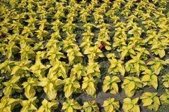 För Bedder för ` arbeta i trädgården guld- sidor för guling för Coleus ` i dekorativ sommar royaltyfri foto