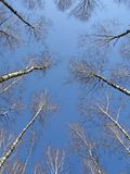 för begreppsdunge för björk blå sky för ledare Royaltyfri Foto