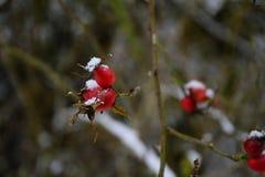 för berrysfilial för nypon röd snö för vinter Royaltyfria Foton