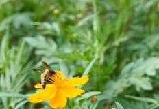 För bi pollen mot efterkrav från den gula blomman Arkivbilder