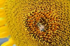 För bi pollen mot efterkrav från solrosen Arkivfoton