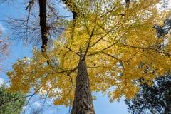 För Biloba för Ginkgo för sikt för låg vinkel träd gult blad med blå himmel royaltyfri foto