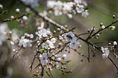 För bin nektar mot efterkrav på körsbärsröda blomningar arkivbild