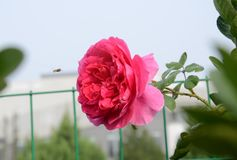 För binektar för röda blommor liten daggdroppe för blad för gräsplan Arkivfoton