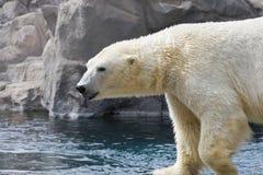 för björn polar klibbande tunga ut Royaltyfri Fotografi