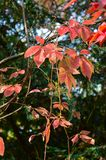 För bladlönn för japan kluvet träd Arkivfoto