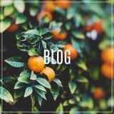 för blogbegrepp för bakgrund 3d ord för white Filialer med frukterna av de orange träden Royaltyfria Bilder