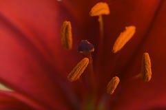 för blomlilja för anthers asiatic makro arkivfoton