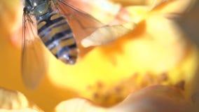 för blomma yellow hoverfly lager videofilmer