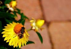 för blomma yellow hoverfly Arkivbilder