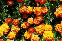 För blommabakgrund orange för ringblommor ljus blomstra slät blom- växt vividly på blomsterrabatt fotografering för bildbyråer