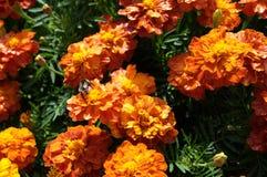 För blommabakgrund orange för ringblommor ljus blomstra slät blom- växt vividly på blomsterrabatt royaltyfri fotografi
