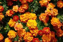 För blommabakgrund orange för ringblommor ljus blomstra slät blom- växt vividly på blomsterrabatt arkivbild