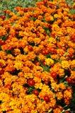 För blommabakgrund orange för ringblommor ljus blomstra slät blom- växt vividly på blomsterrabatt arkivfoto