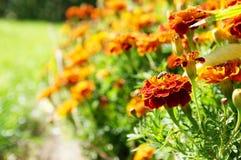 För blommabakgrund orange för ringblommor ljus blomstra slät blom- växt vividly på blomsterrabatt royaltyfria foton