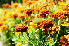 För blommabakgrund orange för ringblommor ljus blomstra slät blom- växt vividly på blomsterrabatt royaltyfria bilder