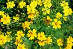 För blommabakgrundsguling för ringblommor ljus blomstra slät blom- växt vividly på blomsterrabatt arkivbild