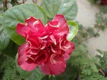För blommablad för hibiskus röd natur Royaltyfria Bilder