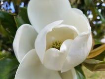För blommablomning för sydlig magnolia för Louisiana blomma stat royaltyfria foton