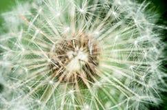 för blommagreen för bakgrund maskros detailed bild Arkivfoto